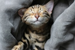 Closeup of a happy adorable cute brown spotted bengal kitten napping and smiling while wrapped up in a blanket dreaming