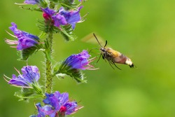Closeup of a Hemaris fuciformis, the broad-bordered bee hawk-moth in flight, feeding nectar on the purple flowers of Echium vulgare viper's bugloss and blueweed