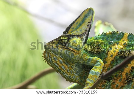closeup of a jemen cameleon