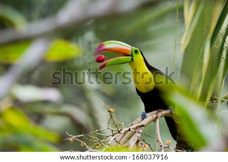 closeup of a keel billed toucan in the rain forest of Belize
