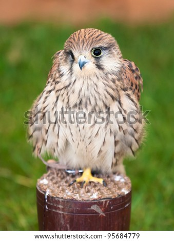 Closeup of a kestrel against a grassy background.