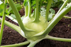 Closeup of a Kohlrabi cabbage or turnip plant growing in in the garden, ready to harvest, fresh and ripe