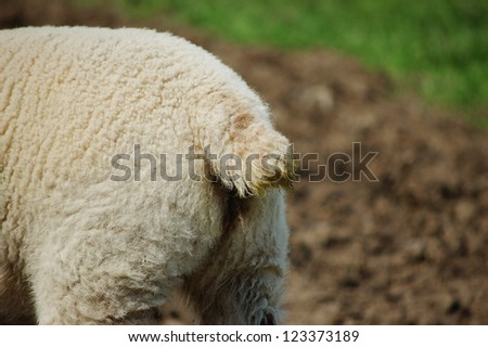 Closeup of a lamb's docked tail and woolly hindquarters