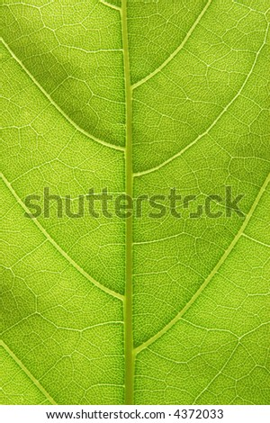 Closeup of a leaf with back lighting