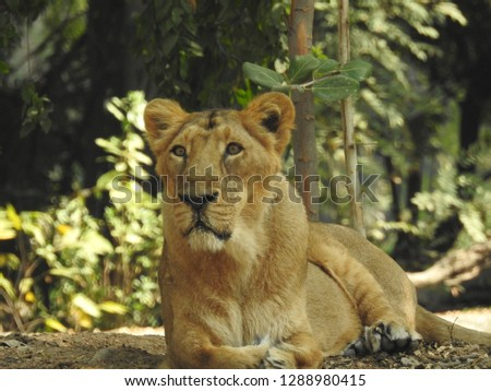 "Closeup of a Lion pride (scientific name: Panthera leo, or ""Simba"" in Swaheli) in the  forest with green trees and leaves in nature. A landscape and port-lite of lioness a detailed  view of species #1288980415"