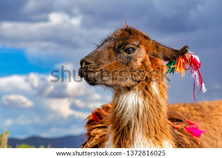 Closeup of a Llama (Lama glama) at the Andes Mountains. At background Cloudy Sky. Llamas are Domesticated South American Camelids #1372816025