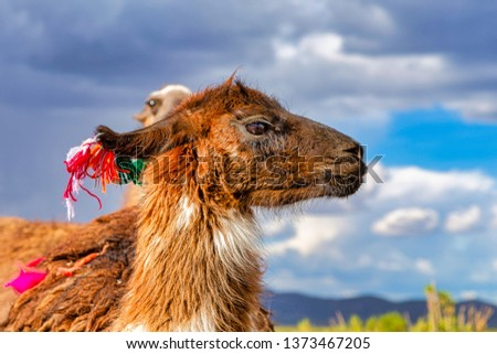 Closeup of a Llama (Lama glama) at the Andes Mountains. At background Cloudy Sky. Llamas are Domesticated South American Camelids #1373467205