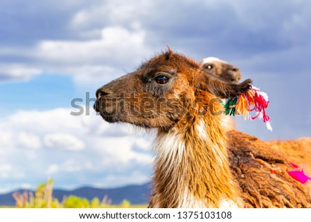 Closeup of a Llama (Lama glama) at the Andes Mountains. At background Cloudy Sky. Llamas are Domesticated South American Camelids #1375103108