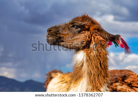 Closeup of a Llama (Lama glama) at the Andes Mountains. At background Cloudy Sky. Llamas are Domesticated South American Camelids #1378362707