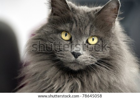 closeup of a long haired cat