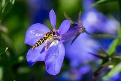 Closeup of a long Hoverfly (prob. Sphaerophoria scripta) on blue garden lobelia flowers