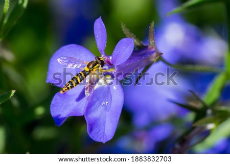 Closeup of a long Hoverfly (prob. Sphaerophoria scripta) on blue garden lobelia flowers Stockfoto ©