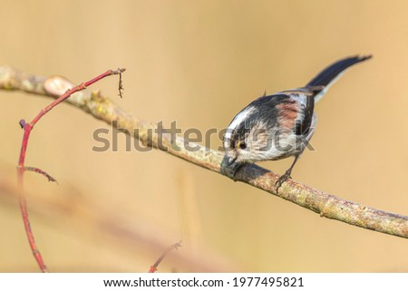 Closeup of a long-tailed tit or long-tailed bushtit, Aegithalos caudatus, bird foraging in a forest during Autumn. A tiny round-bodied tit with a short, stubby bill and a very long, narrow tail. Stockfoto ©