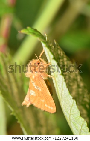Closeup of a male moth called the gold swift, Phymatopus hecta, hanging underneath a leave. Picture taken in Troms county, northern Norway