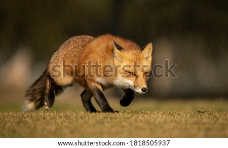 Closeup of a Male Red Fox Hunting and Stalking Prey Сток-фото ©