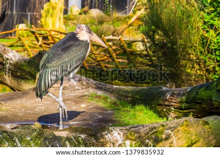 closeup of a marabou stork standing on one leg, tropical bird from Africa and Asia