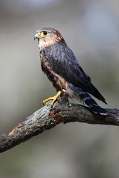 Closeup of a Merlin against a blurred background.
