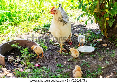 Closeup of a mother chicken with its baby chicks on the farm. Hen with baby chickens Stockfoto ©