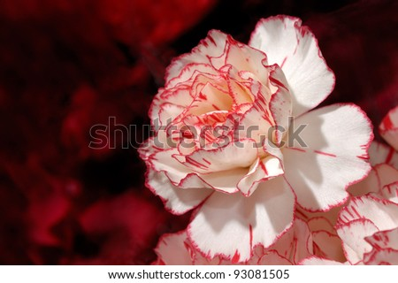 Closeup of a neautiful bi-color carnation flower white on red background