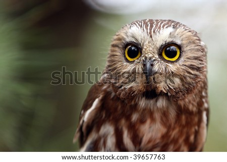 Closeup of a Northern Saw-Whet Owl
