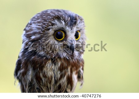 Closeup of a Northern Saw-Whet Owl against a blurred background.