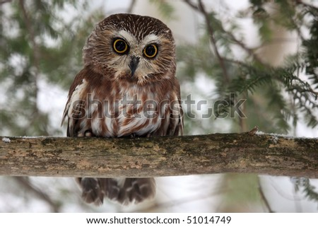 Closeup of a Northern Saw-Whet Owl in the winter. - stock photo