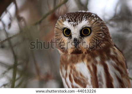 Closeup of a Northern Saw-Whet Owl in winter.