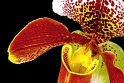 closeup of a paphiopedilum orchid
