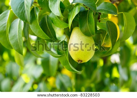 Closeup of a pear on a branch in an orchard