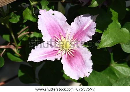Closeup of a pink flowering clematis (Clematis)