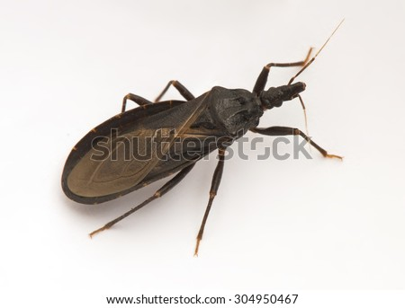 """Closeup of a poisonous """"kissing bug,"""" also called an """"assassin bug,"""" spreader of Chagas disease."""