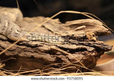 closeup of a poisonous snake - stock photo