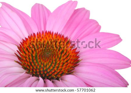 Closeup of a purple coneflower, Echinacea, isolated on white