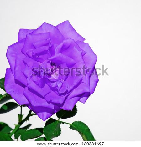 Closeup Of A Purple Ro...