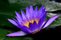 Closeup of a purple waterlily with dark green leaves as background.