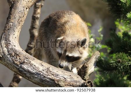 closeup of a racoon - stock photo