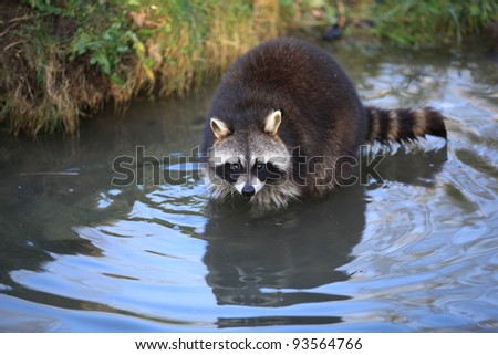 closeup of a racoon