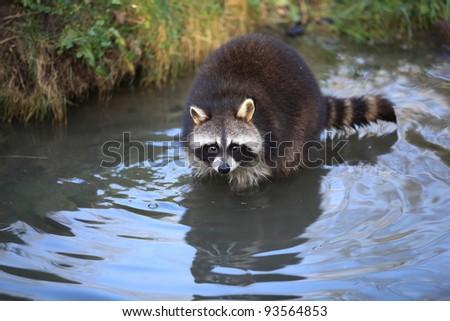 closeup of a racoon