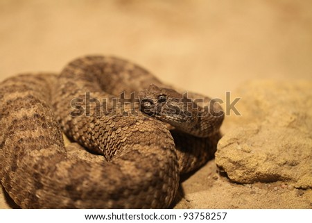 closeup of a rattle snake - stock photo
