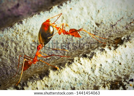 Closeup of a Red Ant Carrying Food #1441454063