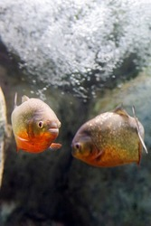 Closeup of a Red-Belly Piranha or Pygocentrus nattereri