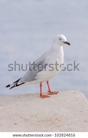 closeup of a red billed Gull, another species native to New Zealand