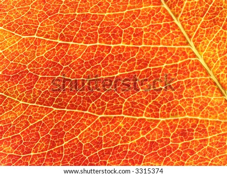 Closeup of a red leaf showing the leaf structure and texture.