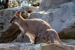 Closeup of a Red-necked Wallaby baby and mother, kangaroo (Macropus rufogriseus)