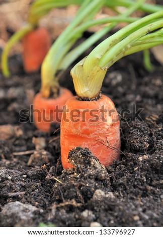 Closeup of a ripe carrot in a vegetable garden soil