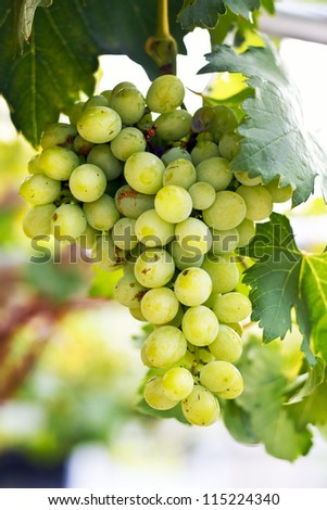 Closeup of a ripened green bunch of grapes