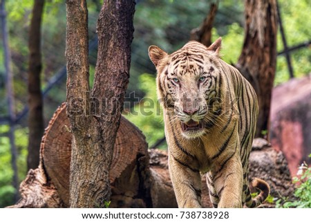 Closeup of a roaring White Tiger looking away with a green flora out of focus background #738738928