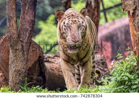 Closeup of a roaring White Tiger looking away with a green flora out of focus background #742878304