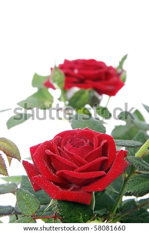 closeup of a rosebush with two roses isolated on a white background