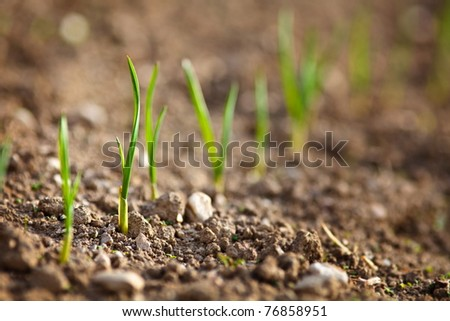 Closeup of a row of baby onions on a lawn - stock photo